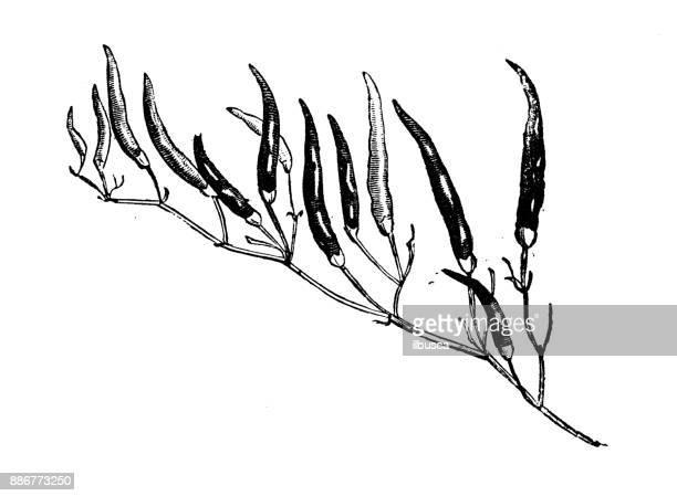 Botany vegetables plants antique engraving illustration: Chili Peppers