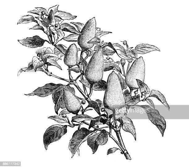 Botany vegetables plants antique engraving illustration: Chinese Peppers