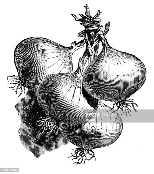 botany vegetables plants antique engraving illustration: dutch onion - plant bulb stock illustrations