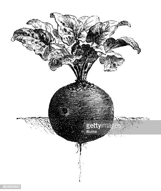 botany vegetables plants antique engraving illustration: eclipse garden beet - turnip stock illustrations