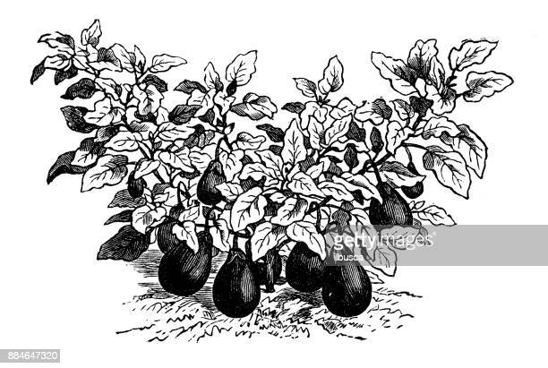 botany vegetables plants antique engraving illustration: eggplant small - plant attribute stock illustrations, clip art, cartoons, & icons