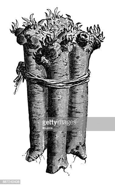 植物野菜植物アンティーク彫刻イラスト: ホースラディッシュ - 西洋わさび点のイラスト素材/クリップアート素材/マンガ素材/アイコン素材