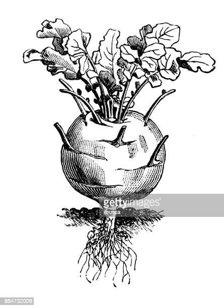 botany vegetables plants antique engraving illustration: kohlrabi (german turnip or turnip cabbage) - red cabbage stock illustrations, clip art, cartoons, & icons