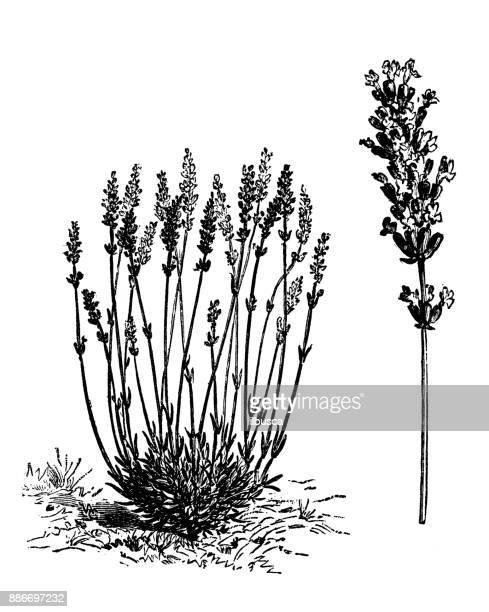 植物野菜植物アンティーク彫刻イラスト: 有するラベンダー (ラベンダー)