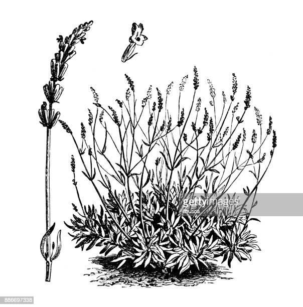 ilustraciones, imágenes clip art, dibujos animados e iconos de stock de botánica plantas vegetales antiguos ilustración grabado: lavandula spica (espliego) - lavanda