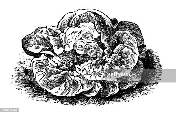 Botany vegetables plants antique engraving illustration: Nonpareil Lettuce