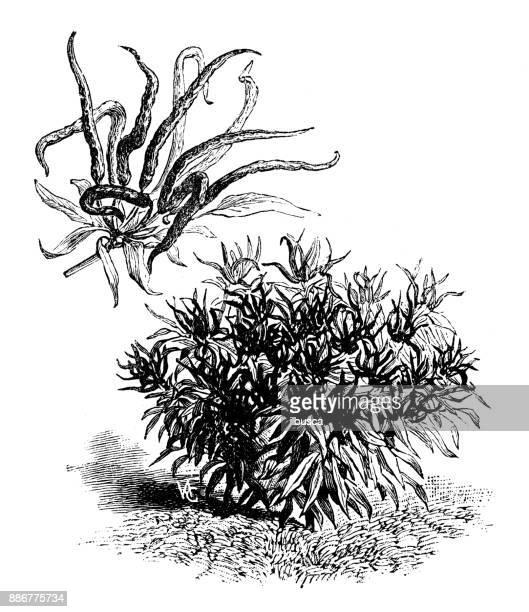 Botany vegetables plants antique engraving illustration: Peppers