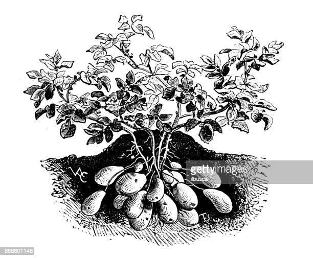 60 Meilleurs Pomme De Terre illustrations, cliparts