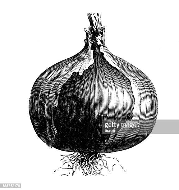 botany vegetables plants antique engraving illustration: rocca red onion - onion stock illustrations, clip art, cartoons, & icons