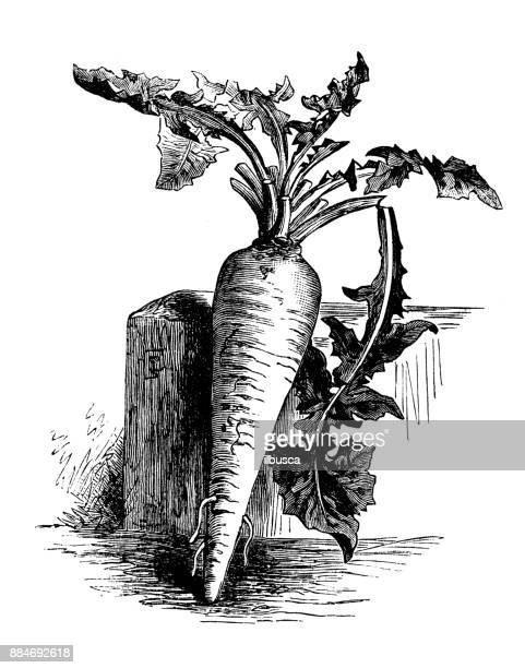 botany vegetables plants antique engraving illustration: rooted chicory - chicory stock illustrations, clip art, cartoons, & icons