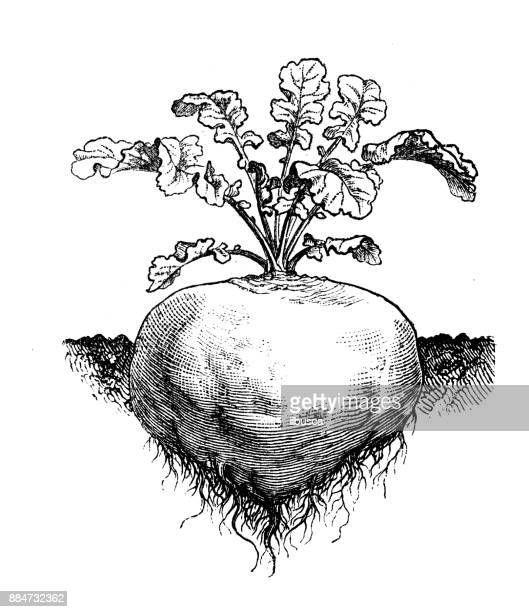 botany vegetables plants antique engraving illustration: rutabaga turnip rooted cabbage - rutabaga stock illustrations, clip art, cartoons, & icons