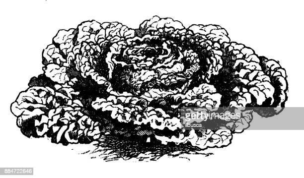 botany vegetables plants antique engraving illustration: savoy cabbage - savoy cabbage stock illustrations, clip art, cartoons, & icons