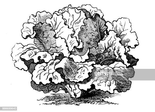 30 Meilleurs Feuille De Salade Illustrations Cliparts