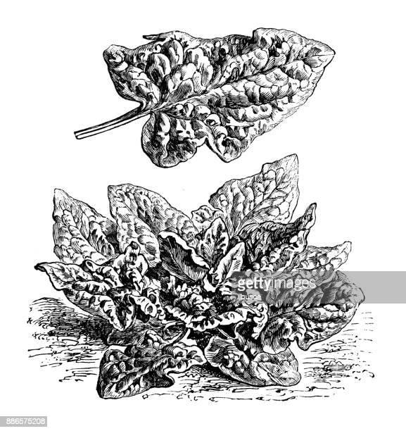 Botánica Plantas vegetales antiguos ilustración grabado: espinaca
