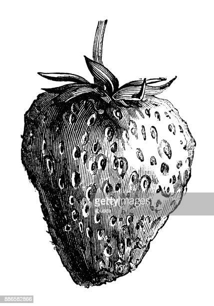 Botany vegetables plants antique engraving illustration: Strawberry