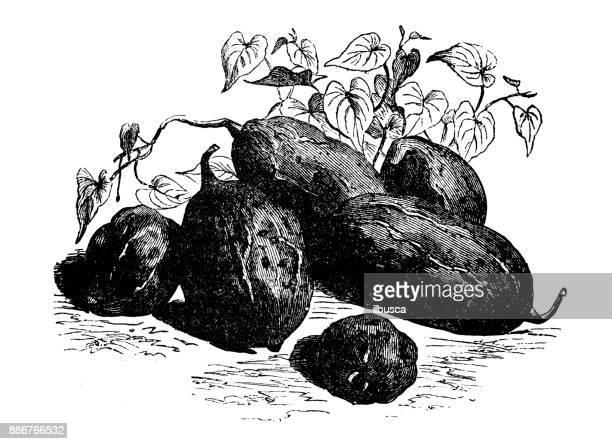 botany vegetables plants antique engraving illustration: sweet potato malaga - málaga province stock illustrations, clip art, cartoons, & icons
