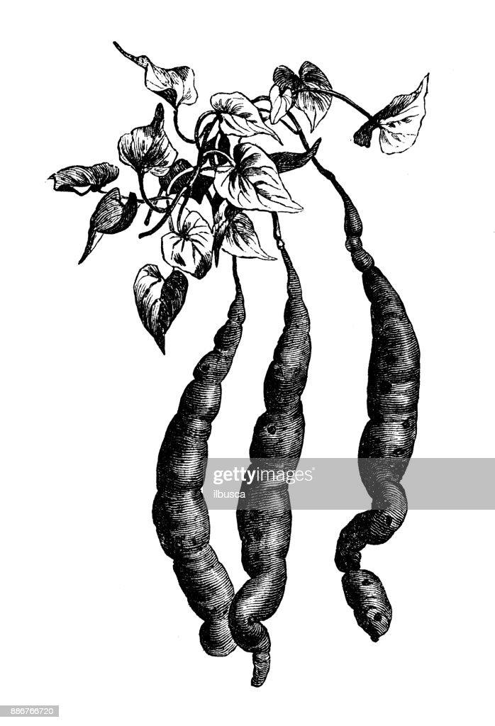potato botany