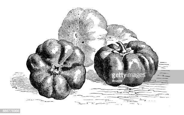Botany vegetables plants antique engraving illustration: Tomato Peppers