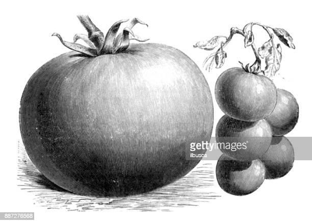 ilustrações, clipart, desenhos animados e ícones de plantas de legumes botânica antiga ilustração de gravura: tomate - botão estágio de flora
