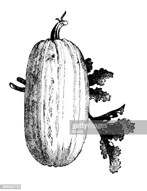 botany vegetables plants antique engraving illustration: vegetable marrow - marrom stock illustrations