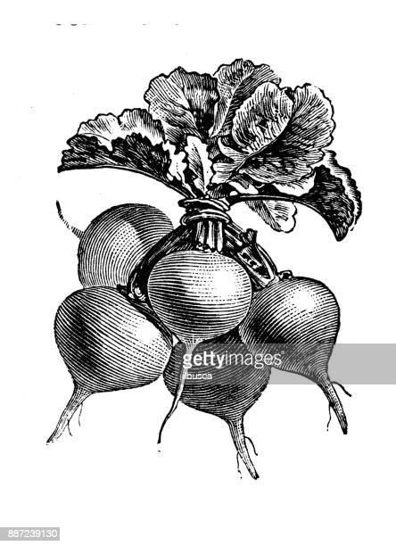 Botany vegetables plants antique engraving illustration: Yellow or Red Radish