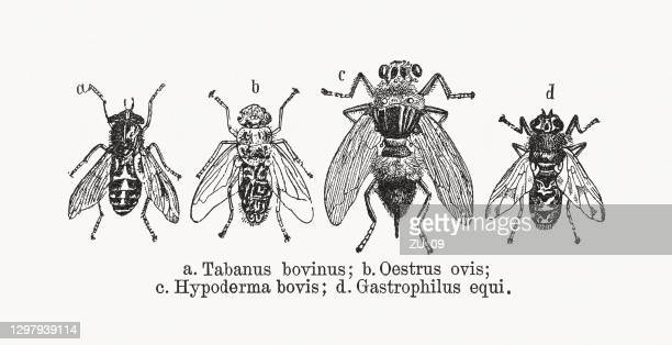 botflies, wood engravings, published in 1893 - bot fly stock illustrations