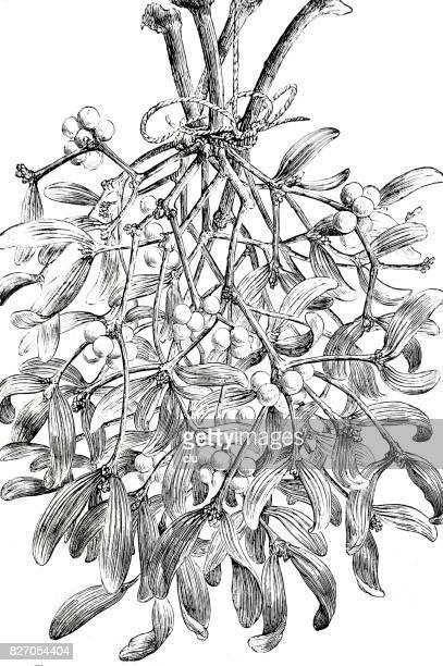 a bouquet of mistletoe on white - mistletoe stock illustrations, clip art, cartoons, & icons