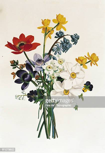 ilustraciones, imágenes clip art, dibujos animados e iconos de stock de bouquet of narcissi and anenome - botánica
