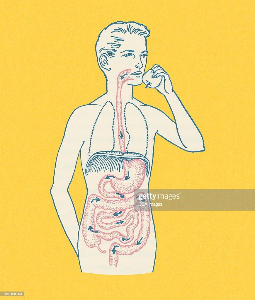 Boy's Gastrointestinal Tract : stock illustration
