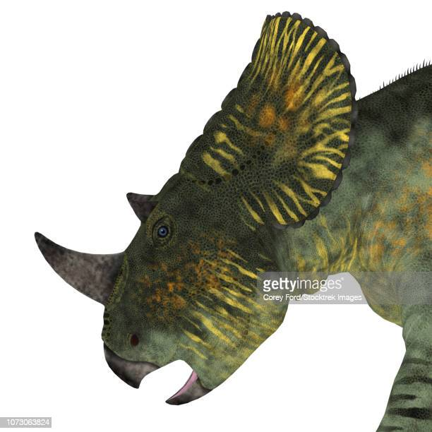 Brachyceratops dinosaur head.