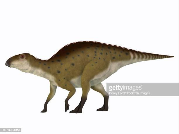 Brachylophosaurus dinosaur, white background.