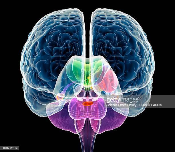 brain anatomy, artwork - physiology stock illustrations, clip art, cartoons, & icons