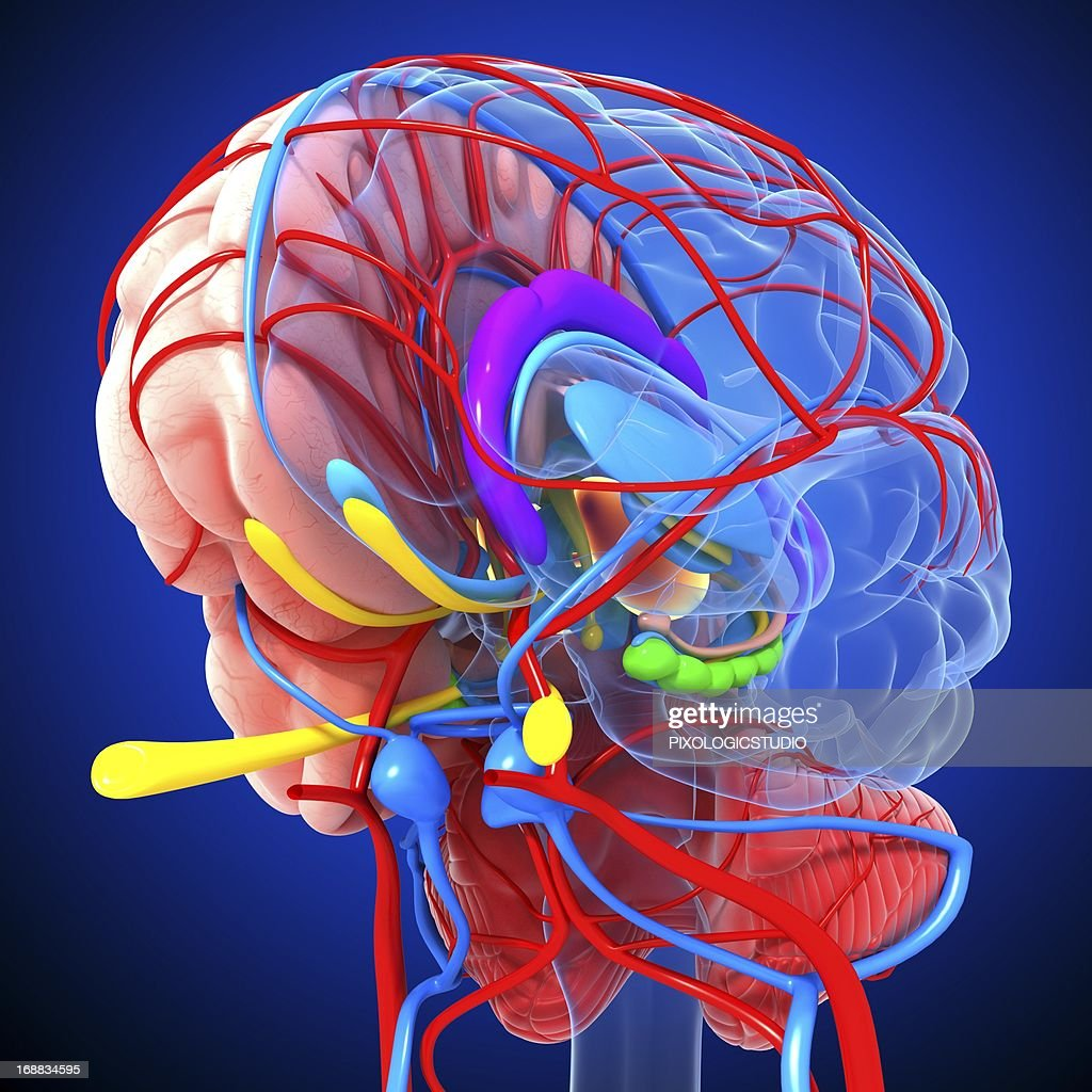 Brain anatomy, artwork : Ilustración de stock