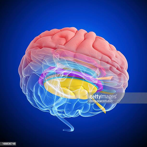 brain anatomy, artwork - diencephalon stock illustrations, clip art, cartoons, & icons