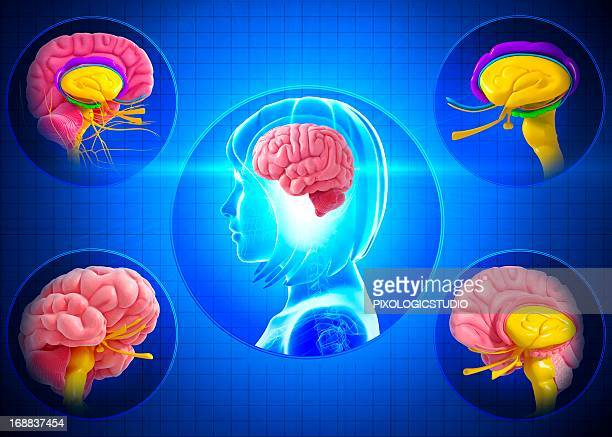 brain anatomy, artwork - temporal lobe stock illustrations, clip art, cartoons, & icons