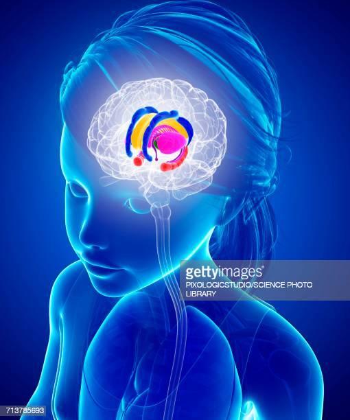brain anatomy, illustration - basal ganglia stock illustrations, clip art, cartoons, & icons