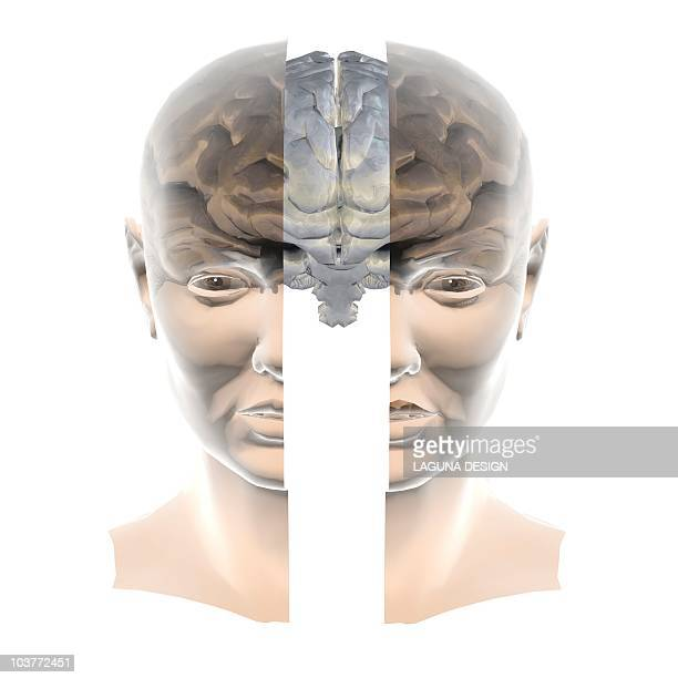 brain, artwork - anatomical model stock illustrations, clip art, cartoons, & icons