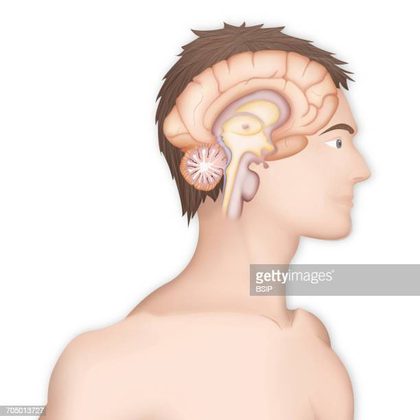 brain, drawing - diencephalon stock illustrations, clip art, cartoons, & icons