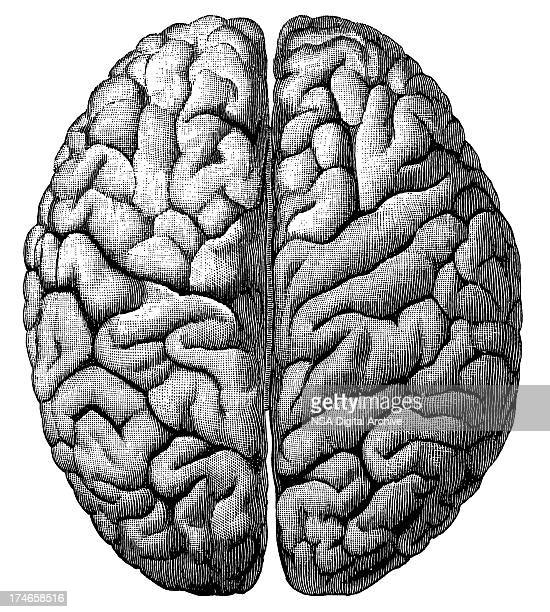 brain (isolated on white) - antique stock illustrations