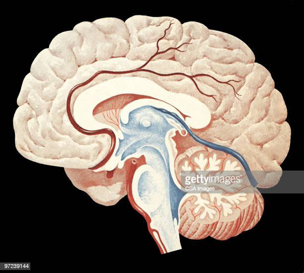 brain - human brain stock illustrations