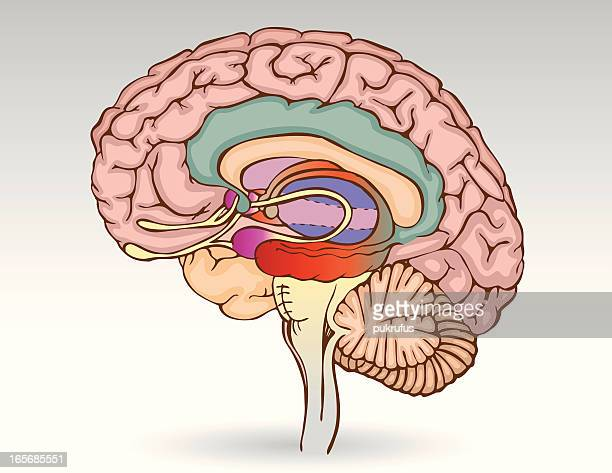 brain isolated - diencephalon stock illustrations, clip art, cartoons, & icons