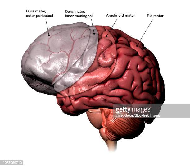 brain meninges layers, with labels. - temporal lobe stock illustrations, clip art, cartoons, & icons
