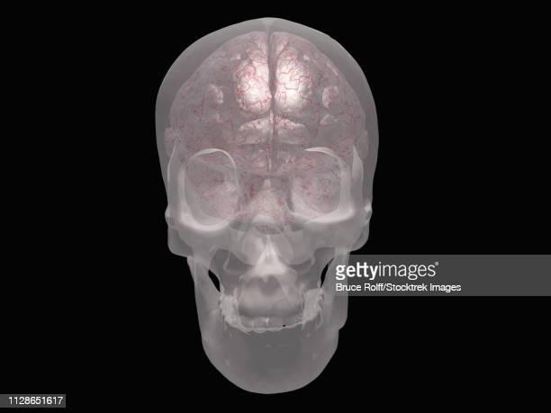 Brain revealed in transparent skull. 3D rendering