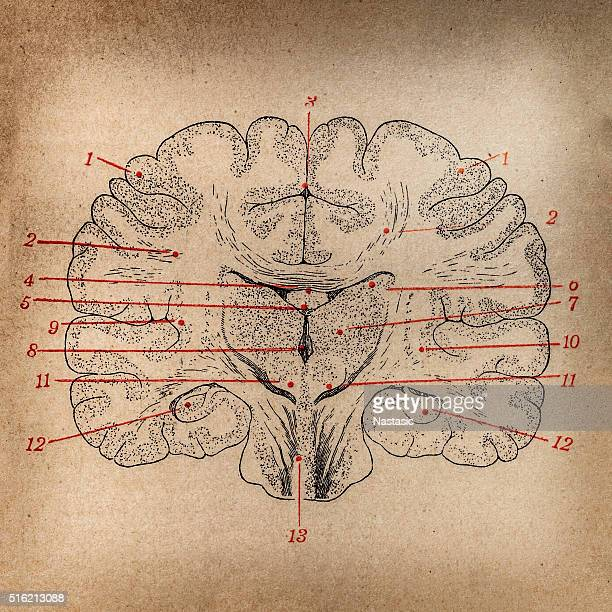 brain section - neurosurgery stock illustrations, clip art, cartoons, & icons