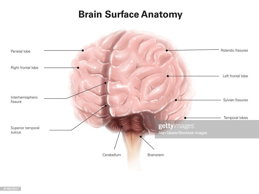 Brain Surface Anatomy With Labels Stock Illustration | Getty Images