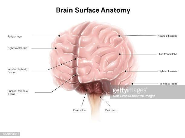 brain surface anatomy, with labels. - diencephalon stock illustrations, clip art, cartoons, & icons
