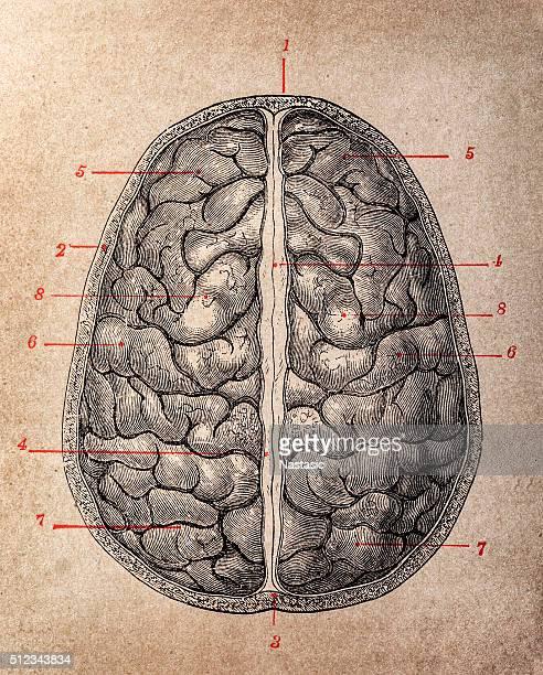 brain top view - neurosurgery stock illustrations, clip art, cartoons, & icons