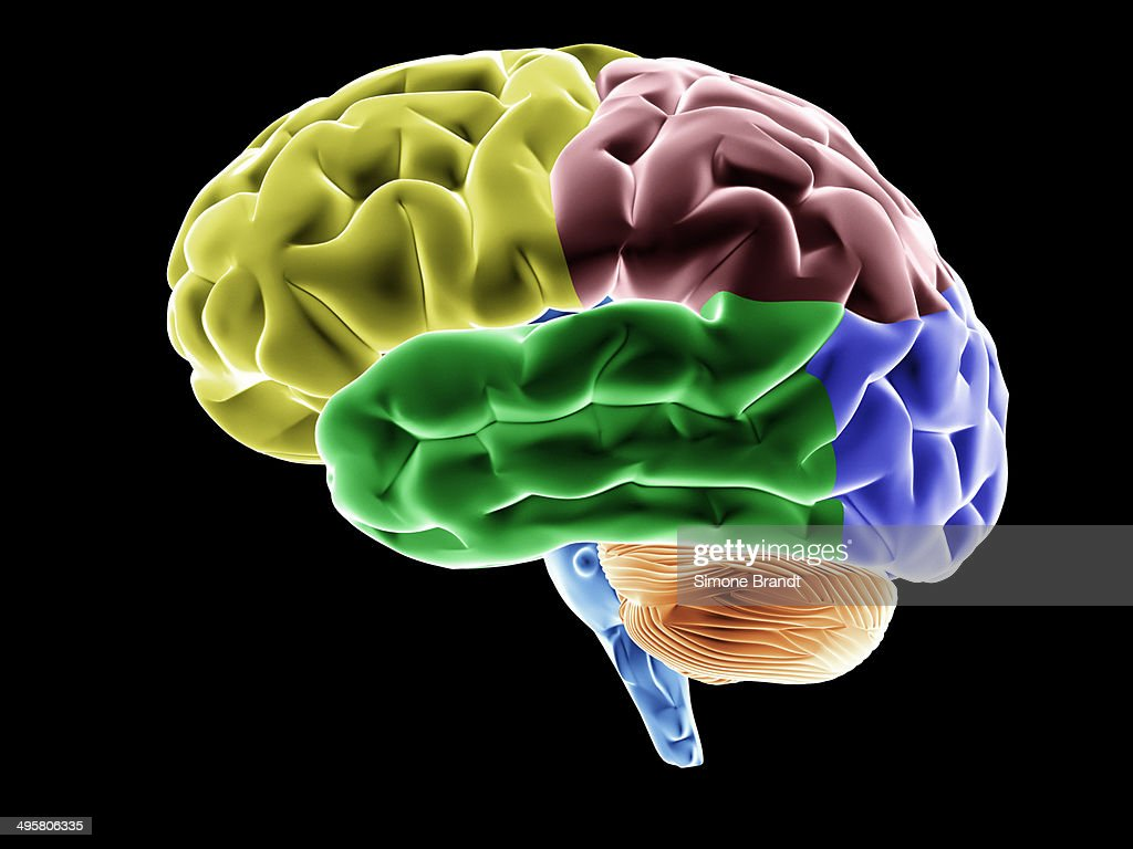 Brain Various Brain Areas Highlighted In Colour Conceptual Image For