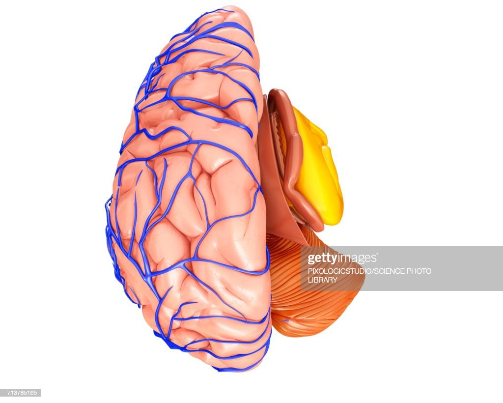 Brain Veins And Anatomy Illustration Stock Illustration | Getty Images