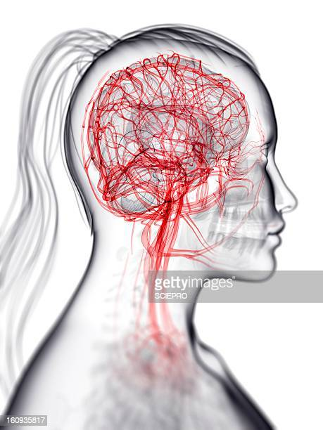 brain's blood supply, artwork - female likeness stock illustrations, clip art, cartoons, & icons